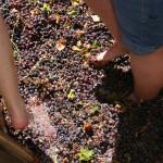 palermo druivenstampen
